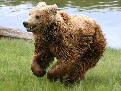 Brown_bear_(Ursus_arctos_arctos)_running